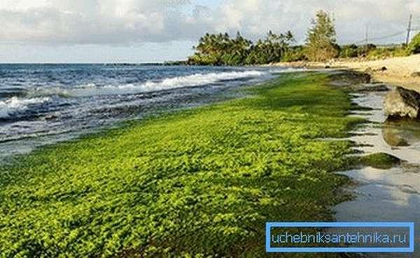 На фото – водоросли, из которых производится органическое топливо