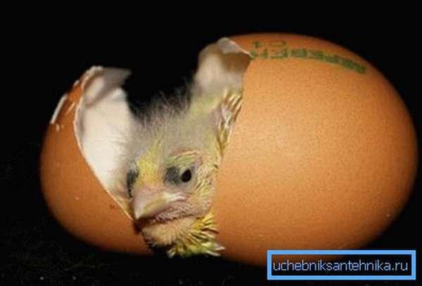 На фото - вывод цыпленка