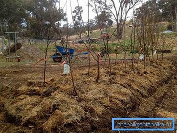Плодовые деревья посажены на насыпи