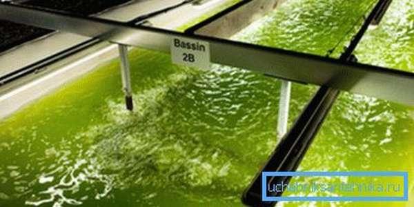 Получение биотоплива из водорослей