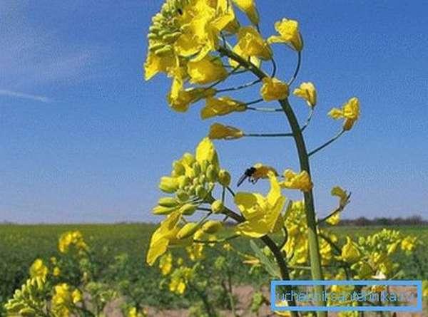 Семена рапса богаты растительным маслом, которое используют для изготовления биотоплива
